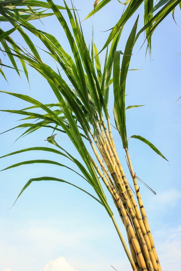 Сахарный тростник в плантации в Таиланде стоковое изображение