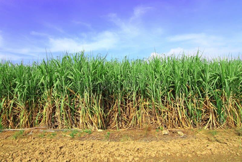 Сахарный тростник в Таиланде стоковое изображение rf