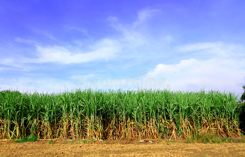 Сахарный тростник в Таиланде стоковые фотографии rf