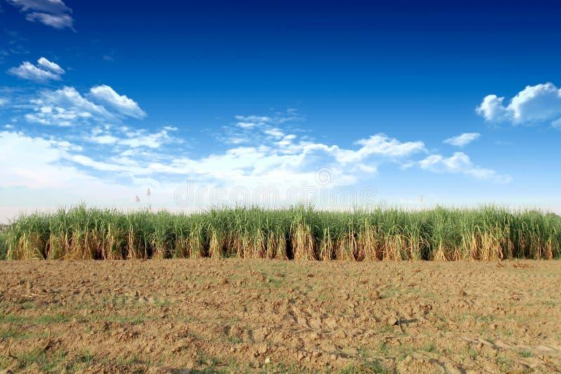 Сахарный тростник в Таиланде стоковая фотография