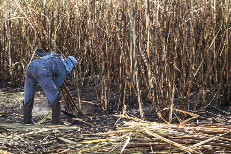 Сахарный тростник сбора стоковое фото