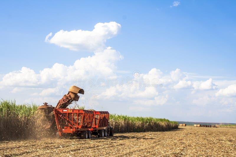 Сахарный тростник стоковое изображение rf