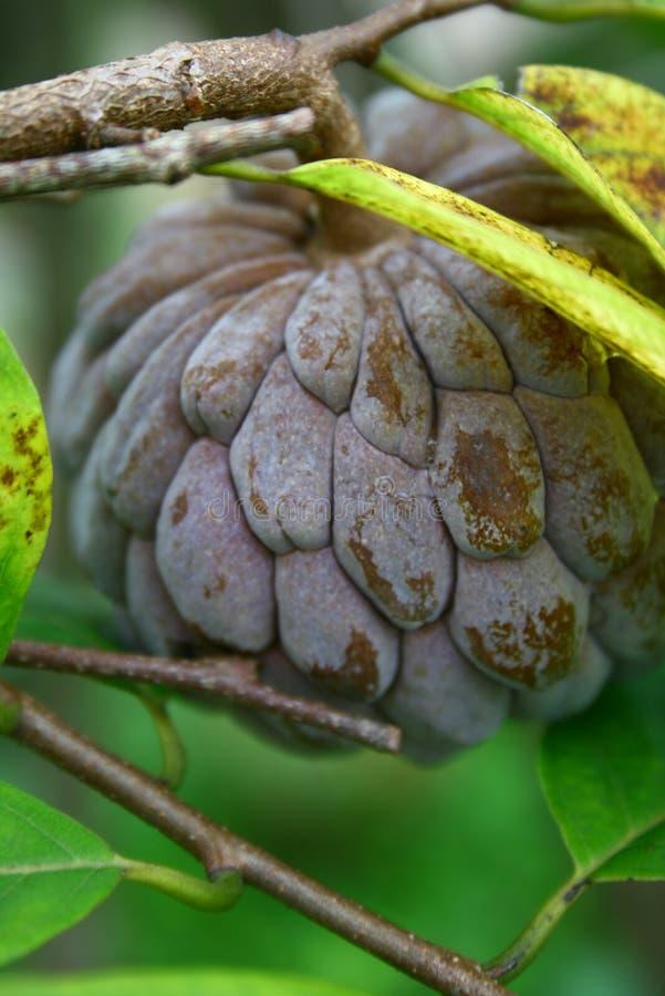 сахар Борнео яблока тропический стоковое фото