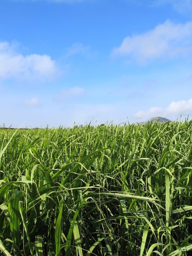 сахар поля 2 тросточек стоковая фотография rf