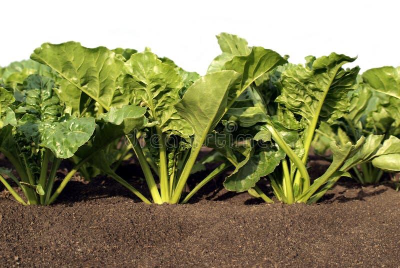 сахар урожая свеклы близкий вверх стоковое изображение