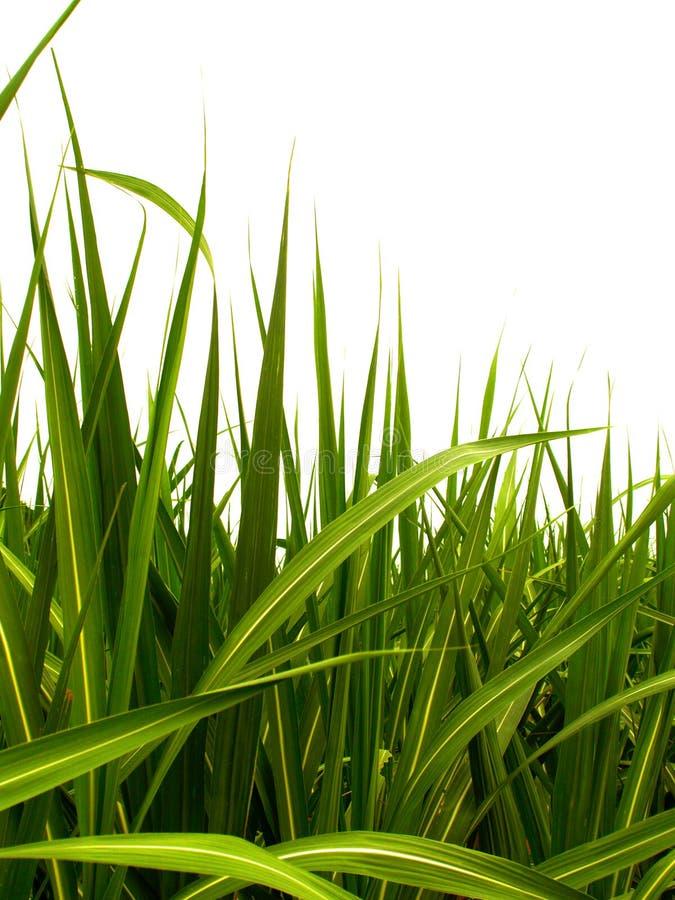сахар 2 листьев стоковое изображение rf