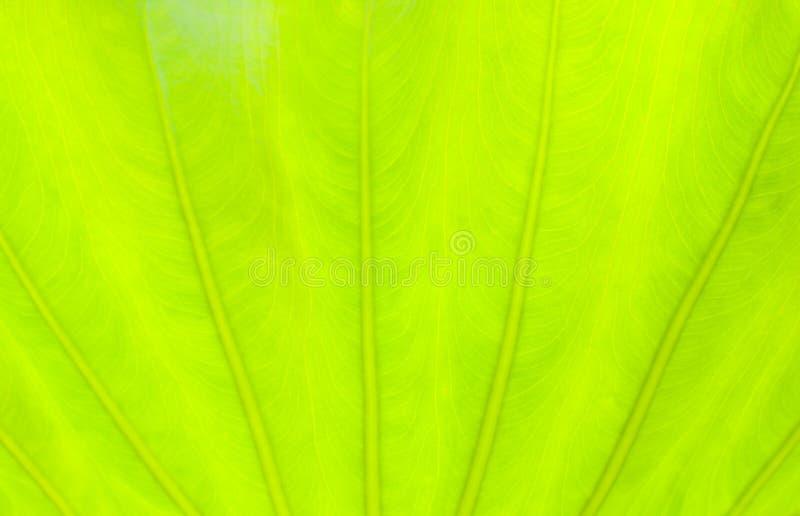 Салатовая предпосылка природы конспекта лист стоковые фотографии rf