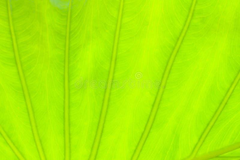 Салатовая предпосылка природы конспекта лист стоковая фотография