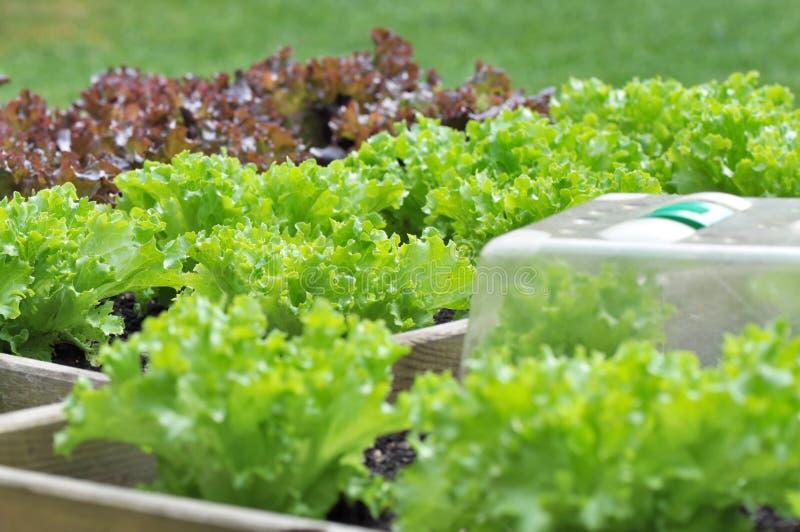 Салат в заплате стоковые фото