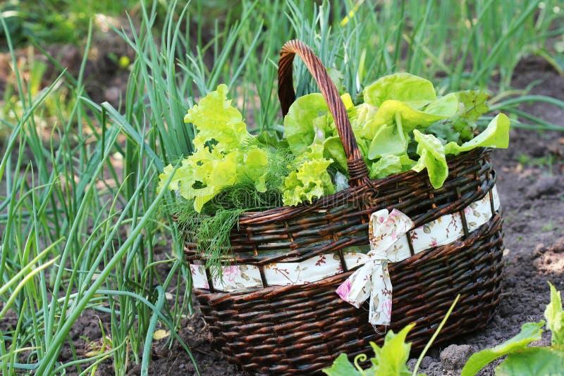 Салат в корзине помещенной около vegetable заплаты стоковая фотография rf