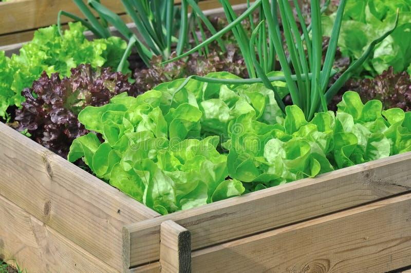 Салат в vegetable заплате стоковое изображение rf