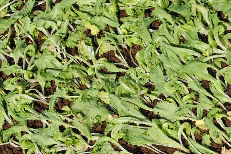 салат засаживает детенышей стоковое изображение rf
