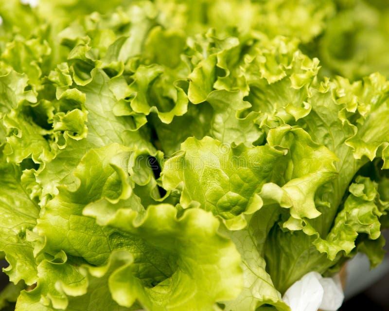 салат органический стоковая фотография rf