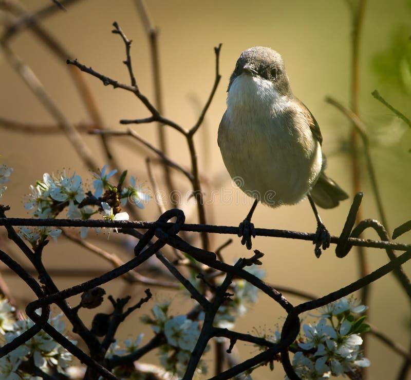 Садить на насест певчая птица Blackcap стоковые фото