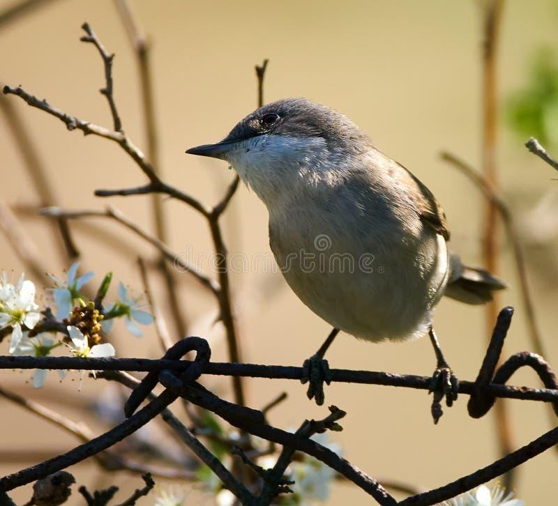 Садить на насест певчая птица Blackcap стоковое изображение