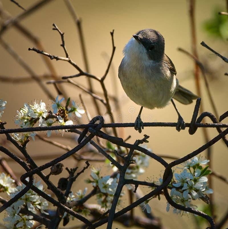 Садить на насест певчая птица Blackcap стоковое изображение rf