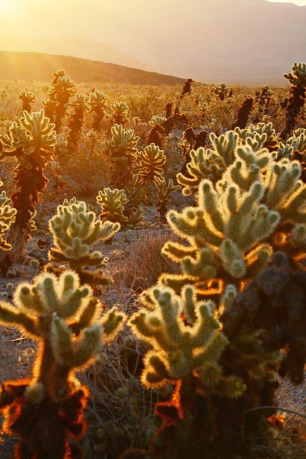 Сад кактуса Cholla стоковые фотографии rf