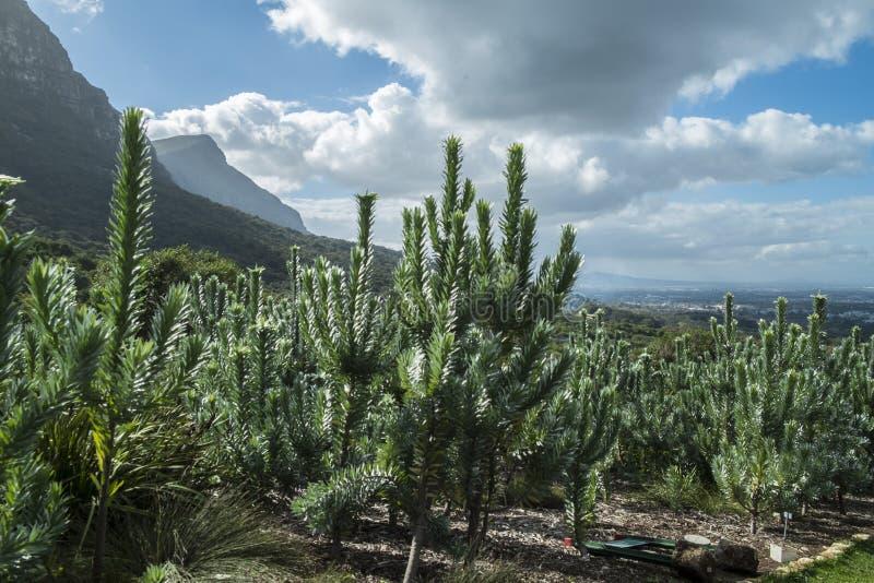 Сад Кейптауна ботанический стоковое фото rf