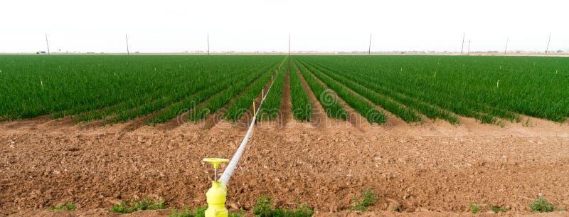 Садовод еды земледелия Калифорнии зеленых луков поля фермера стоковые изображения rf