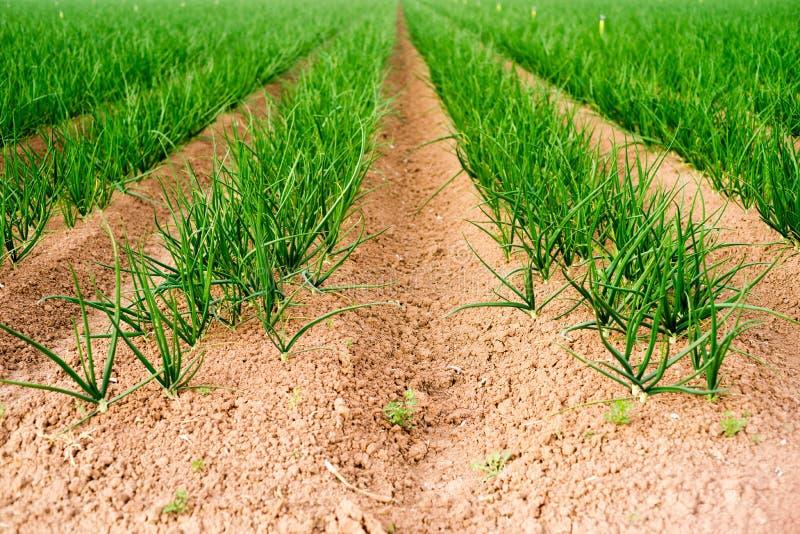 Садовод еды земледелия Калифорнии зеленых луков поля фермера стоковое фото