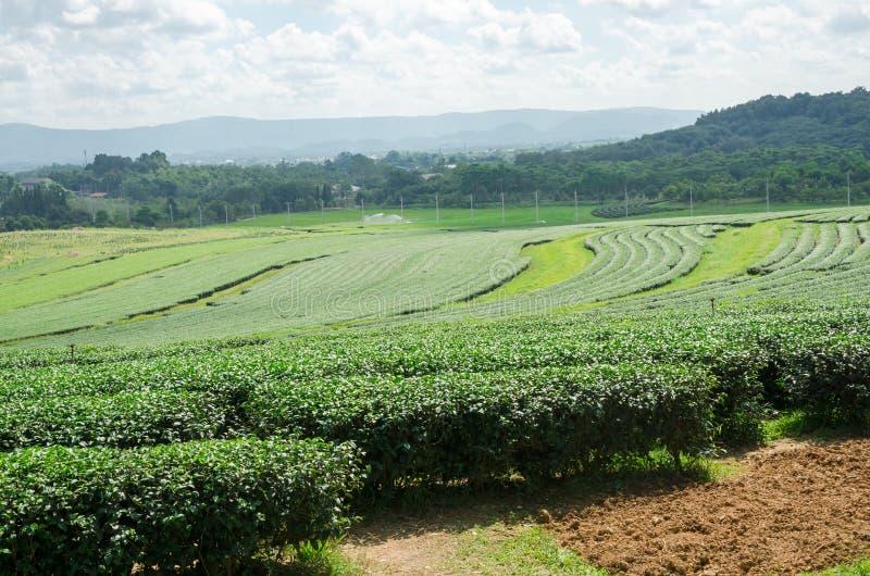 Сад плантации чая на парке Singha, Chiang Rai Таиланде стоковая фотография
