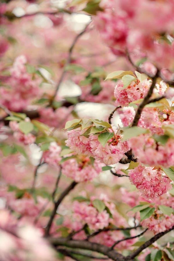 Сад с вишневыми цветами стоковые изображения rf
