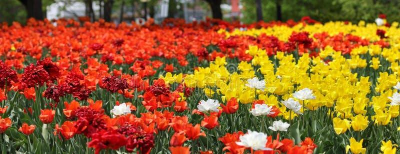 Сад тюльпанов стоковое изображение