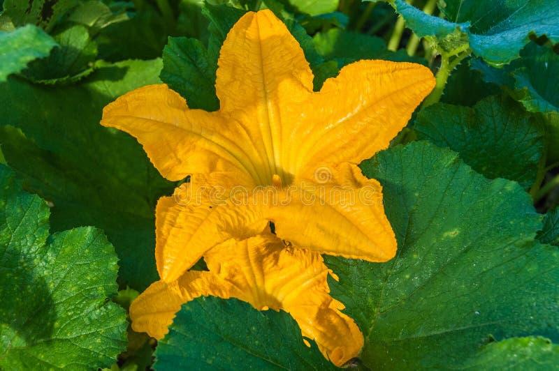 Сад цветка Courgette растущий стоковые изображения rf