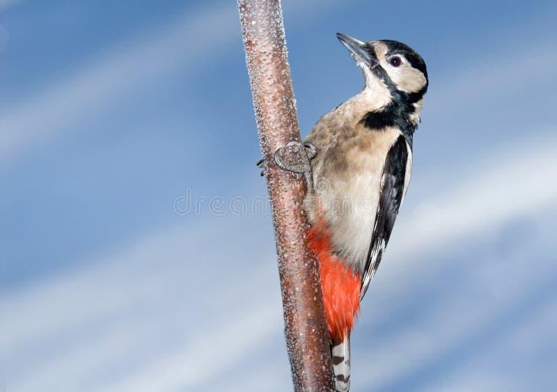 Садясь на насест большой запятнанный Woodpecker в зиме стоковые фотографии rf