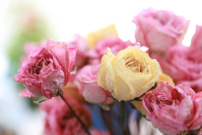 сбор винограда роз предпосылки красивейший сухой стоковые изображения