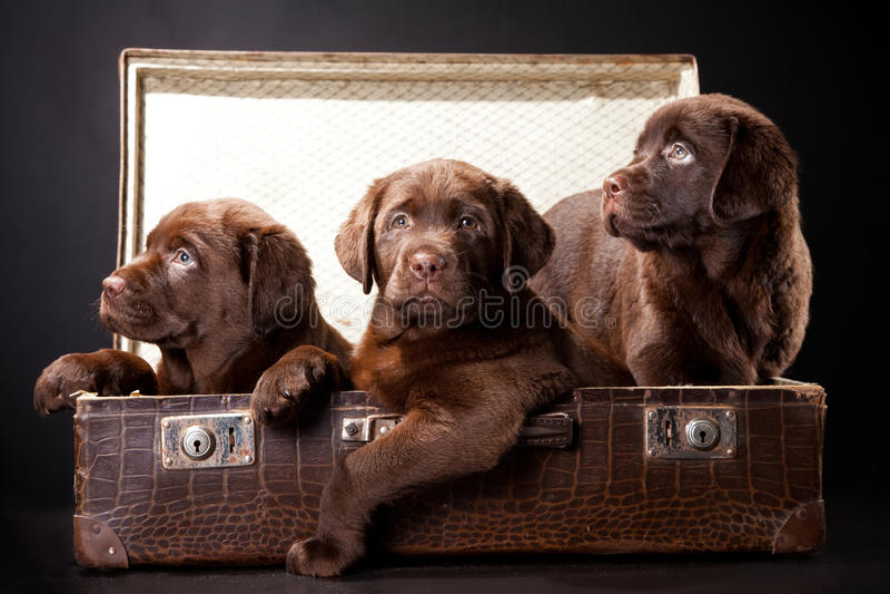 сбор винограда чемодана 3 щенят стоковые фото