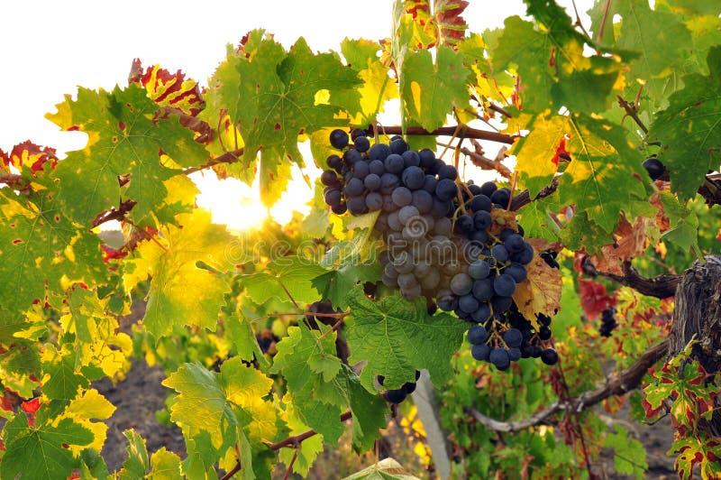 сбор винограда стоковая фотография rf