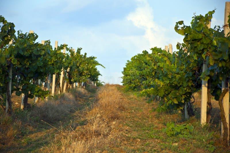 сбор винограда стоковое изображение rf