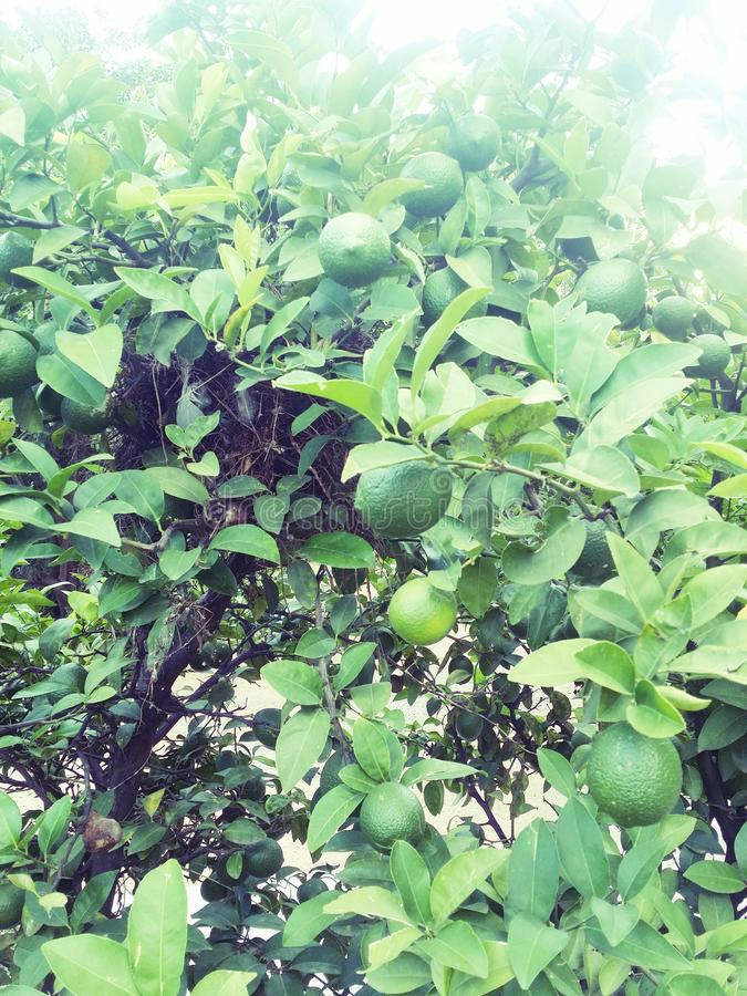 сбор винограда вала воспроизводства лимона книги ботанический стоковое изображение