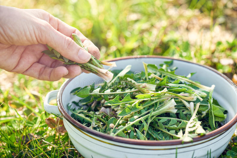 Сбор зеленых цветов одуванчика стоковое фото rf