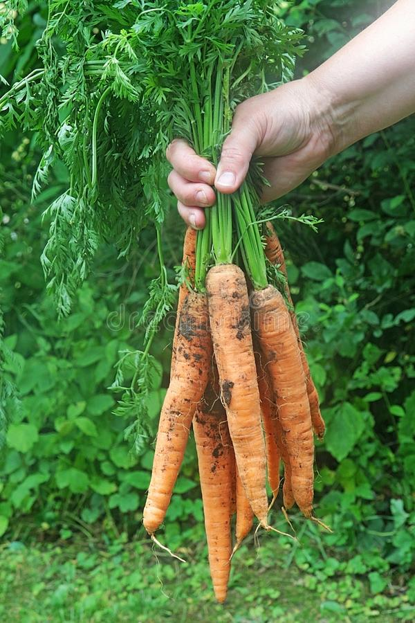 Сбор морковей, рука держа пук морковей стоковые фотографии rf