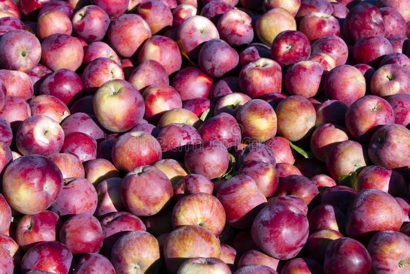 Сбор органических красных яблок стоковое фото