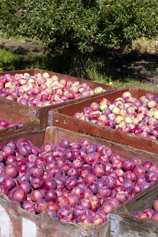 Сбор органических красных яблок стоковое изображение