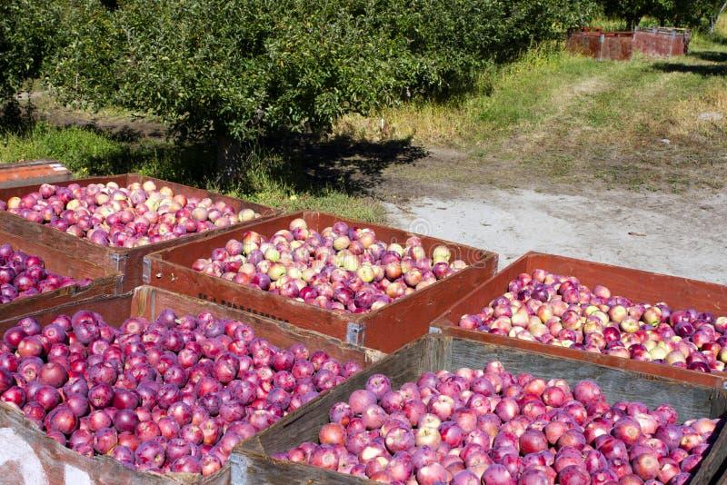 Сбор органических красных яблок стоковая фотография