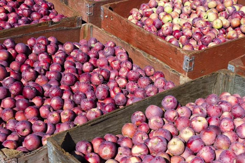 Сбор органических красных яблок стоковые фотографии rf
