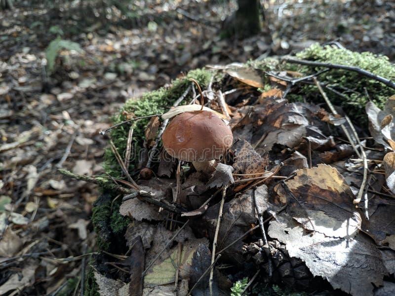 Сбор осени грибов стоковое изображение
