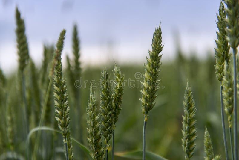 Сбор пшеницы стоковые фотографии rf