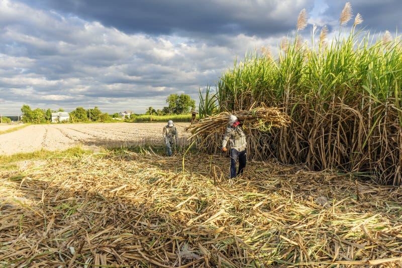 Сбор сахарного тростника, провинция Tay Ninh, Вьетнам стоковые изображения