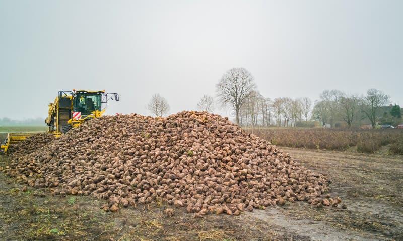 Сбор сахарной свеклы с жаткой свекловицы аграрная машина стоковая фотография rf