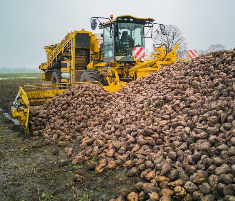 Сбор сахарной свеклы с жаткой свекловицы аграрная машина стоковое изображение