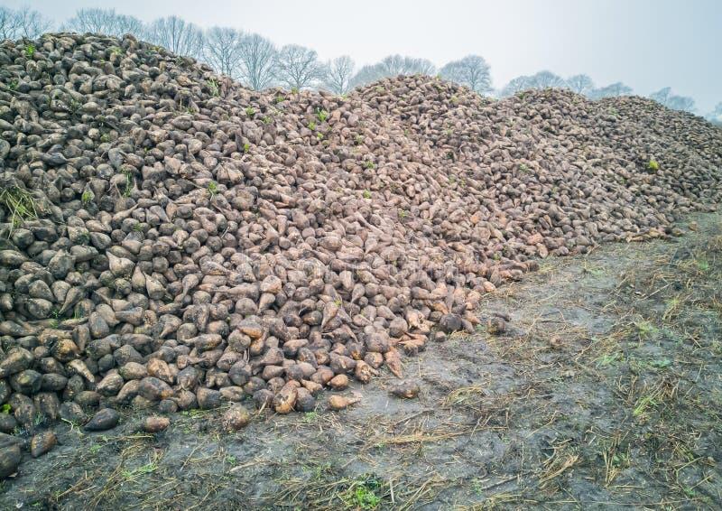 Сбор сахарной свеклы с жаткой свекловицы аграрная машина стоковые изображения rf