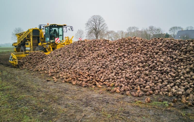 Сбор сахарной свеклы с жаткой свекловицы аграрная машина стоковое изображение rf