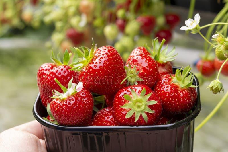 Сбор свежих вкусных зрелых красных клубник растя на ферме клубники стоковое изображение rf