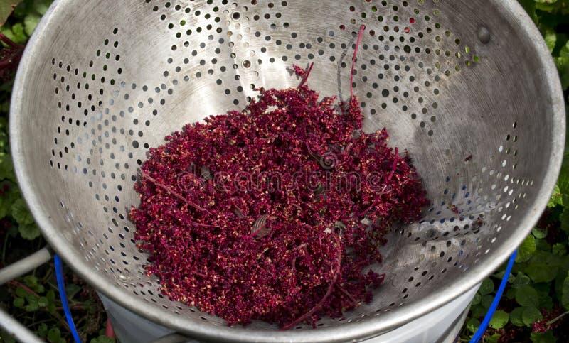 Сбор семян амаранта стоковое изображение rf