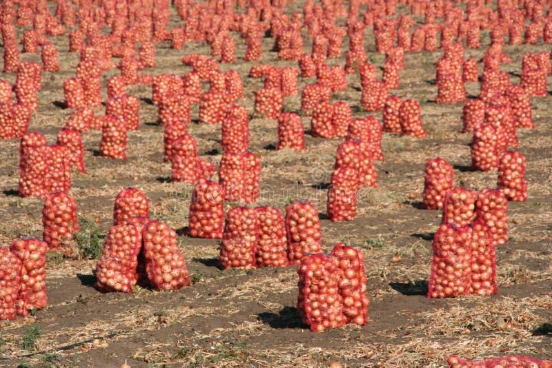Сбор лука на ферме стоковое фото rf